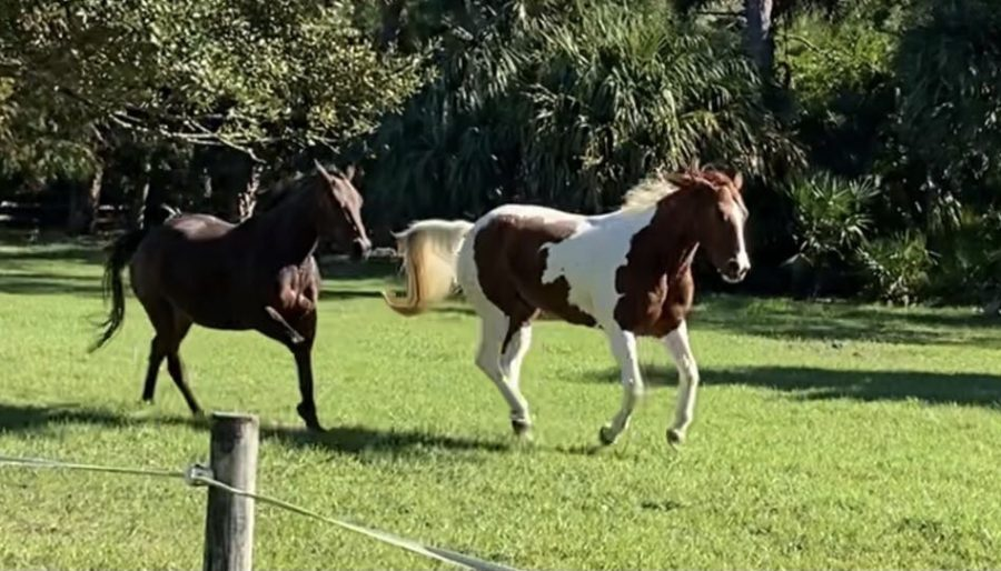 Quarter horses Peg and Mia run freely on the Royston family farm.